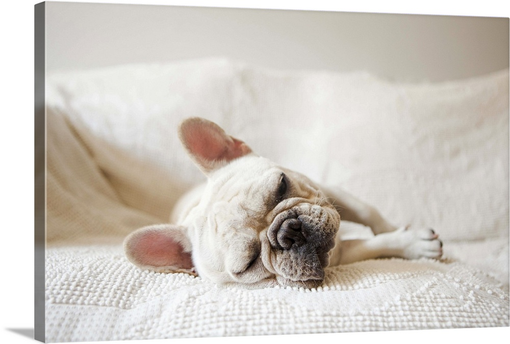 Large Solid-Faced Canvas Print Wall Art Print 30 x 20 entitled French Bulldog sleeping on sofa Solid-Faced Canvas Print entitled French Bulldog sleeping on sofa.  Usa, New York State, New York City, Portrait of French Bulldog sleeping on sofa.  Multiple sizes available.  Primary colors within this image include Dark Gray, Gray, Silver.  Made in USA.  Satisfaction guaranteed.  Inks used are latex-based and designed to last.  Canvas is handcrafted and made-to-order in the United States using high quality artist-grade canvas.  Featuring a proprietary design, our canvases produce the tightest corners without any bubbles, ripples, or bumps and will not warp or sag over time.