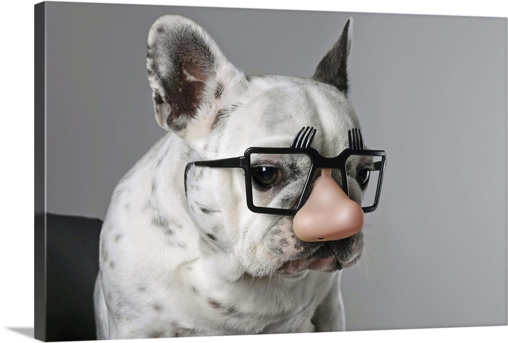 Large Solid-Faced Canvas Print Wall Art Print 30 x 20 entitled French bulldog wearing a Groucho Marx disguise Solid-Faced Canvas Print entitled French bulldog wearing a Groucho Marx disguise.  French bulldog with glasses and nose toy.  Multiple sizes available.  Primary colors within this image include Black, Light Gray.  Made in USA.  Satisfaction guaranteed.  Inks used are latex-based and designed to last.  Canvas depth is 1.25 and includes a finished backing with pre-installed hanging hardware.  Canvas is handcrafted and made-to-order in the United States using high quality artist-grade canvas.