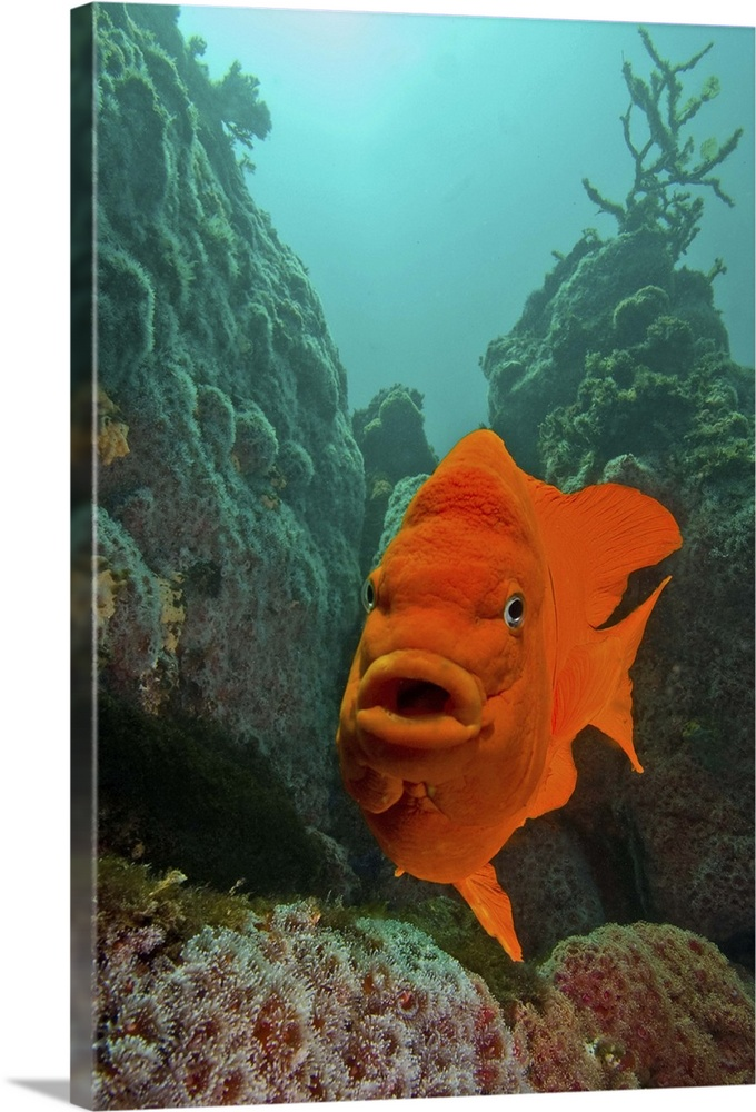Large Solid-Faced Canvas Print Wall Art Print 20 x 30 entitled Garibaldi fish swimming in the Pacific Ocean Solid-Faced Canvas Print entitled Garibaldi fish swimming in the Pacific Ocean.  Another reef re-check shot with my favorite garibaldi at Anacapa Island. Check out the reef re-check tag for the other images taken from the same position over the last few years.  Multiple sizes available.  Primary colors within this image include Brown, Black, Gray, Pale Blue.  Made in the USA.  Satisfaction guaranteed.  Inks used are latex-based and designed to last.  Featuring a proprietary design, our canvases produce the tightest corners without any bubbles, ripples, or bumps and will not warp or sag over time.  Canvas depth is 1.25 and includes a finished backing with pre-installed hanging hardware.
