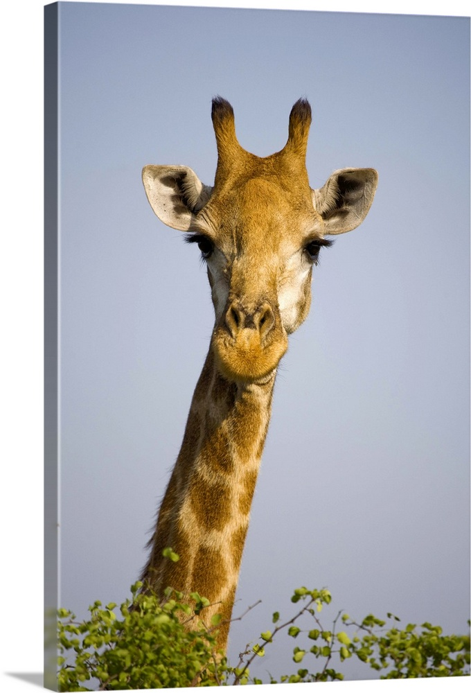 Large Gallery-Wrapped Canvas Wall Art Print 16 x 24 entitled Giraff looking at camera, in Kruger National Park in South Af... Gallery-Wrapped Canvas entitled Giraff looking at camera in Kruger National Park in South Africa..  giraffa camelopardalis looking at camera in Kruger National Park in South Africa. Outdoors.  Multiple sizes available.  Primary colors within this image include Peach Dark Forest Green Light Gray Blue.  Made in the USA.  Satisfaction guaranteed.  Inks used are latex-based and designed to last.  Canvas is a 65 polyester 35 cotton base with two acrylic latex primer basecoats and a semi-gloss inkjet receptive topcoat.  Museum-quality artist-grade canvas mounted on sturdy wooden stretcher bars 1.5 thick.  Comes ready to hang.