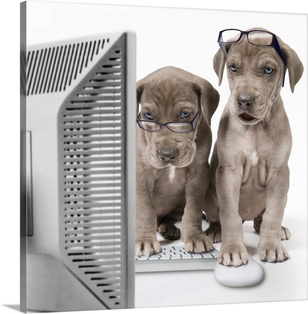 Large Solid-Faced Canvas Print Wall Art Print 20 x 20 entitled Great Dane puppies using a desktop computer Solid-Faced Canvas Print entitled Great Dane puppies using a desktop computer.  Multiple sizes available.  Primary colors within this image include Gray, White, Dark Navy Blue.  Made in the USA.  All products come with a 365 day workmanship guarantee.  Archival-quality UV-resistant inks.  Canvas depth is 1.25 and includes a finished backing with pre-installed hanging hardware.  Canvas is handcrafted and made-to-order in the United States using high quality artist-grade canvas.
