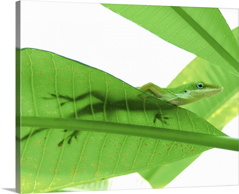 Large Solid-Faced Canvas Print Wall Art Print 30 x 24 entitled Green Anole (Anolis carolinensis) on large leaves Solid-Faced Canvas Print entitled Green Anole Anolis carolinensis on large leaves.  Green Anole Anolis carolinensis on large leaves, backlit shows its shadow silhouette through leaf, Texas.  Multiple sizes available.  Primary colors within this image include Forest Green, Light Yellow, Black, White.  Made in the USA.  Satisfaction guaranteed.  Archival-quality UV-resistant inks.  Archival inks prevent fading and preserve as much fine detail as possible with no over-saturation or color shifting.  Canvas depth is 1.25 and includes a finished backing with pre-installed hanging hardware.