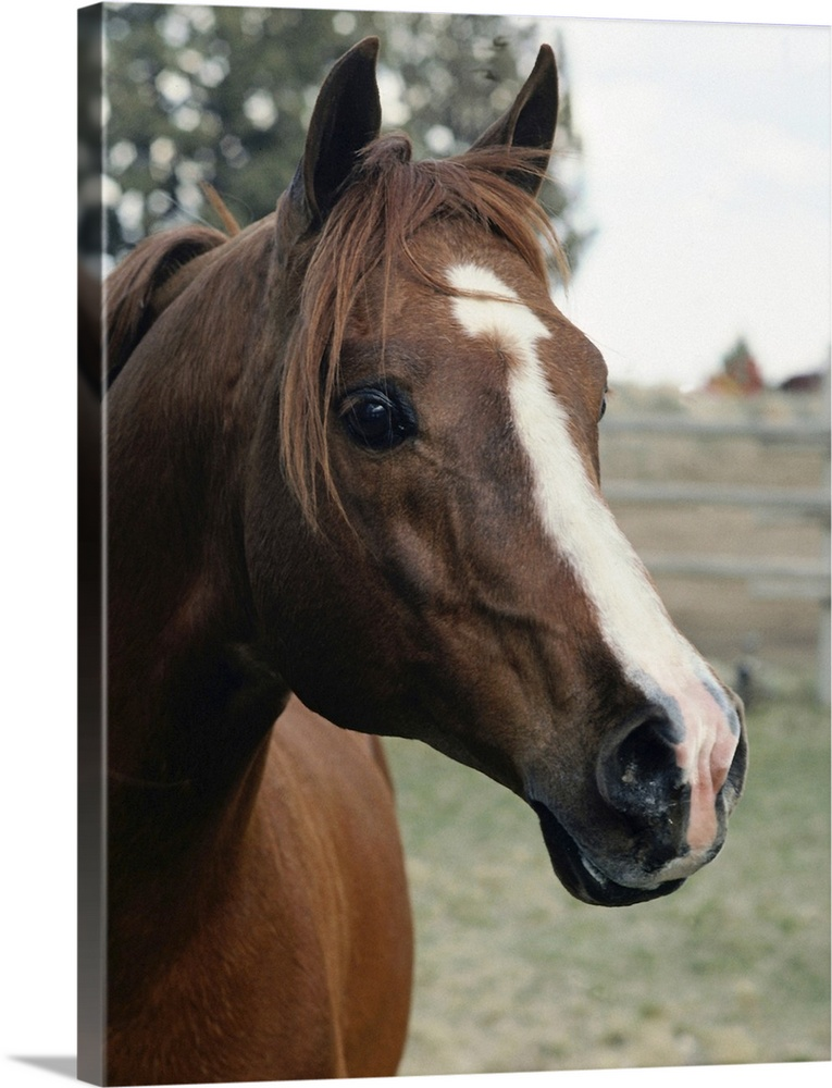 Large Gallery-Wrapped Canvas Wall Art Print 18 x 24 entitled Horse Gallery-Wrapped Canvas entitled Horse.  Big portrait photograph of the side of a horses face as he stares at the camera a fenced in field and large tree are slightly blurred in the background.  Multiple sizes available.  Primary colors within this image include Black Gray White.  Made in the USA.  Satisfaction guaranteed.  Inks used are latex-based and designed to last.  Canvas is acid-free and 20 millimeters thick.  Museum-quality artist-grade canvas mounted on sturdy wooden stretcher bars 1.5 thick.  Comes ready to hang.