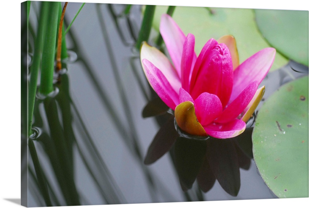 Large Solid-Faced Canvas Print Wall Art Print 30 x 20 entitled Hot Pink Lotus Solid-Faced Canvas Print entitled Hot Pink Lotus.  A lovely vivid hot pink lotus or water lily in a pond with shadows and greens.  Multiple sizes available.  Primary colors within this image include Dark Red, Brown, Light Purple, Light Gray.  Made in the USA.  All products come with a 365 day workmanship guarantee.  Archival-quality UV-resistant inks.  Featuring a proprietary design, our canvases produce the tightest corners without any bubbles, ripples, or bumps and will not warp or sag over time.  Archival inks prevent fading and preserve as much fine detail as possible with no over-saturation or color shifting.