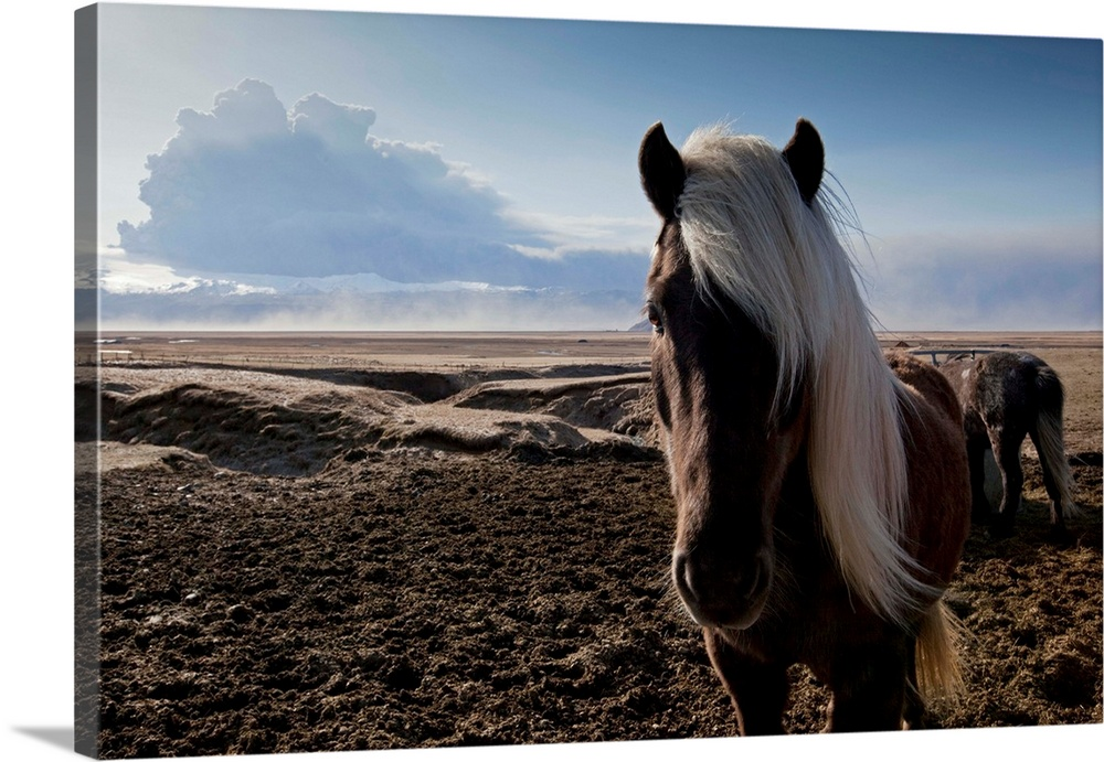 Large Solid-Faced Canvas Print Wall Art Print 30 x 20 entitled Icelandic Horses Near Ash Plume From Eyjafjallajokull Eruption Solid-Faced Canvas Print entitled Icelandic Horses Near Ash Plume From Eyjafjallajokull Eruption.  Icelandic horses standing in pasture in shadow of ash cloud from erupting Eyjafjallajokull Volcano.  Multiple sizes available.  Primary colors within this image include Black, Muted Blue, Dark Forest Green, Light Gray Blue.  Made in the USA.  Satisfaction guaranteed.  Inks used are latex-based and designed to last.  Canvas depth is 1.25 and includes a finished backing with pre-installed hanging hardware.  Archival inks prevent fading and preserve as much fine detail as possible with no over-saturation or color shifting.