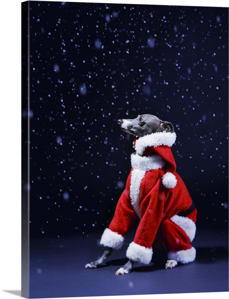 Large Gallery-Wrapped Canvas Wall Art Print 18 x 24 entitled Italian greyhound wearing a Santa Claus suit Gallery-Wrapped Canvas entitled Italian greyhound wearing a Santa Claus suit.  The dog sits putting on Father Christmass clothes in the falling snow. .  Multiple sizes available.  Primary colors within this image include Dark Red, Black, Muted Blue.  Made in USA.  All products come with a 365 day workmanship guarantee.  Inks used are latex-based and designed to last.  Canvases have a UVB protection built in to protect against fading and moisture and are designed to last for over 100 years.  Canvas is acid-free and 20 millimeters thick.