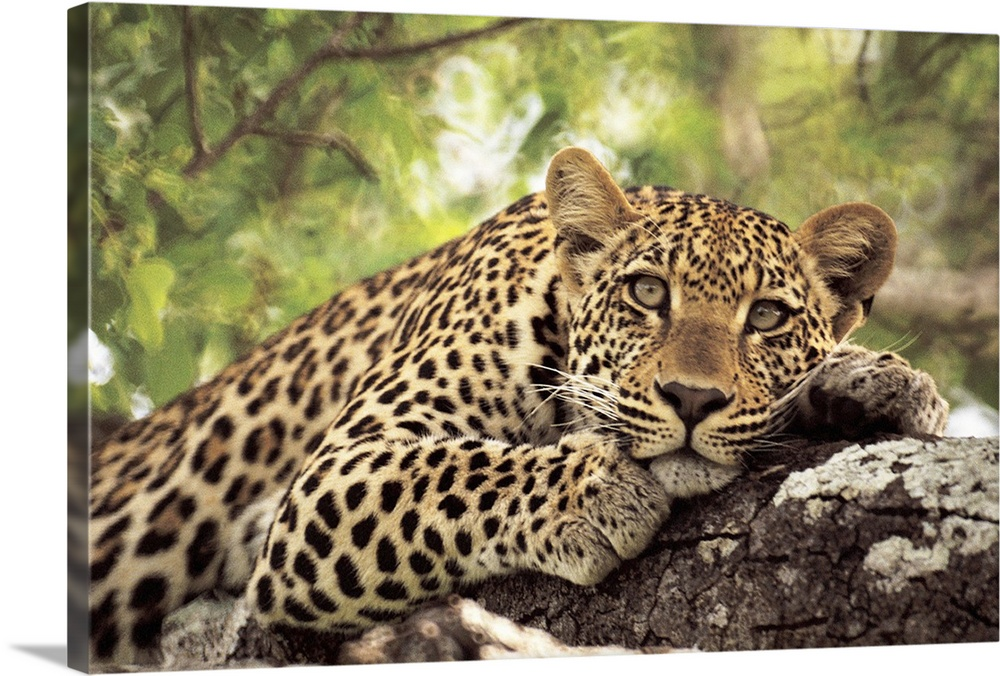 Large Gallery-Wrapped Canvas Wall Art Print 24 x 16 entitled Leopard (Panthera pardus) lying in tree Gallery-Wrapped Canvas entitled Leopard Panthera pardus lying in tree.  A spotted leopard sits in a tree staring at the camera.  Multiple sizes available.  Primary colors within this image include Black Gray Silver.  Made in the USA.  All products come with a 365 day workmanship guarantee.  Inks used are latex-based and designed to last.  Canvas frames are built with farmed or reclaimed domestic pine or poplar wood.  Canvases have a UVB protection built in to protect against fading and moisture and are designed to last for over 100 years.