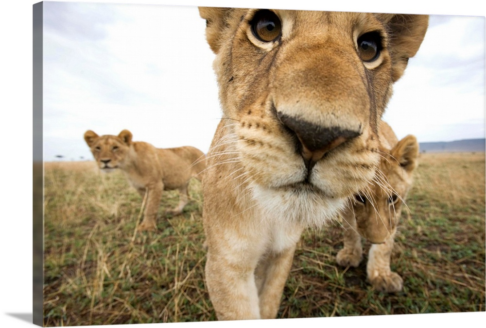 Large Solid-Faced Canvas Print Wall Art Print 30 x 20 entitled Lion Cubs In Masai Mara Game Reserve, Kenya Solid-Faced Canvas Print entitled Lion Cubs In Masai Mara Game Reserve, Kenya.  Lion cubs Panthera leo stalking toward remote camera with wide angle lens. Photograph by Paul Souders.  Multiple sizes available.  Primary colors within this image include Peach, Black, White.  Made in the USA.  All products come with a 365 day workmanship guarantee.  Inks used are latex-based and designed to last.  Archival inks prevent fading and preserve as much fine detail as possible with no over-saturation or color shifting.  Canvas depth is 1.25 and includes a finished backing with pre-installed hanging hardware.
