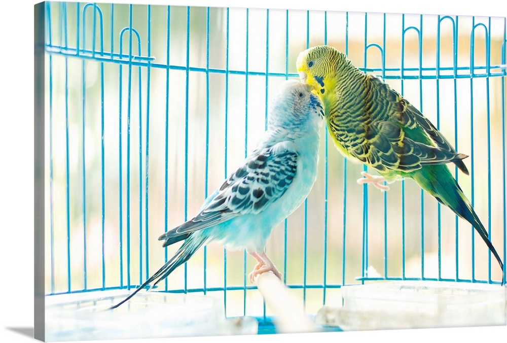 Large Solid-Faced Canvas Print Wall Art Print 30 x 20 entitled Lovely parakeet couple kiss each other in cage. Solid-Faced Canvas Print entitled Lovely parakeet couple kiss each other in cage..  Multiple sizes available.  Primary colors within this image include Light Yellow, Light Gray, White, Teal.  Made in the USA.  Satisfaction guaranteed.  Inks used are latex-based and designed to last.  Canvas depth is 1.25 and includes a finished backing with pre-installed hanging hardware.  Canvas is handcrafted and made-to-order in the United States using high quality artist-grade canvas.