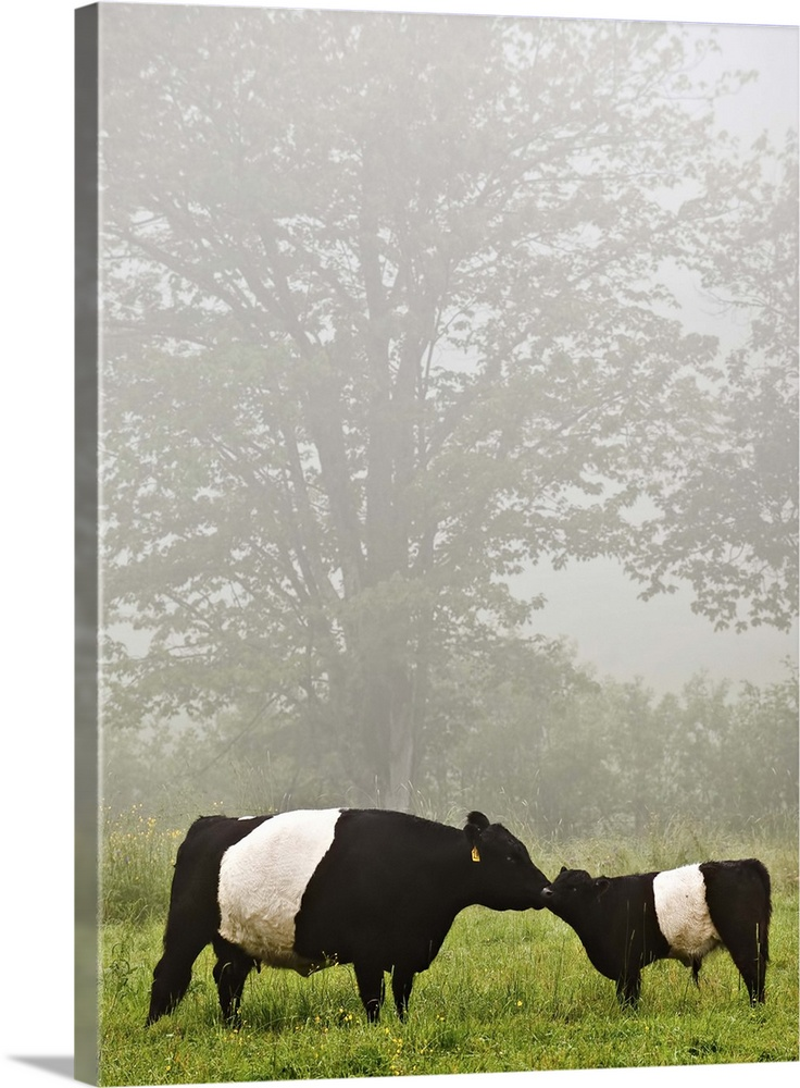 Large Gallery-Wrapped Canvas Wall Art Print 17 x 24 entitled Misty scene of belted galloway cow mothering her baby in flow... Gallery-Wrapped Canvas entitled Misty scene of belted galloway cow mothering her baby in flowery pasture..  Multiple sizes available.  Primary colors within this image include Dark Yellow Black Silver.  Made in the USA.  All products come with a 365 day workmanship guarantee.  Inks used are latex-based and designed to last.  Canvases have a UVB protection built in to protect against fading and moisture and are designed to last for over 100 years.  Canvas frames are built with farmed or reclaimed domestic pine or poplar wood.
