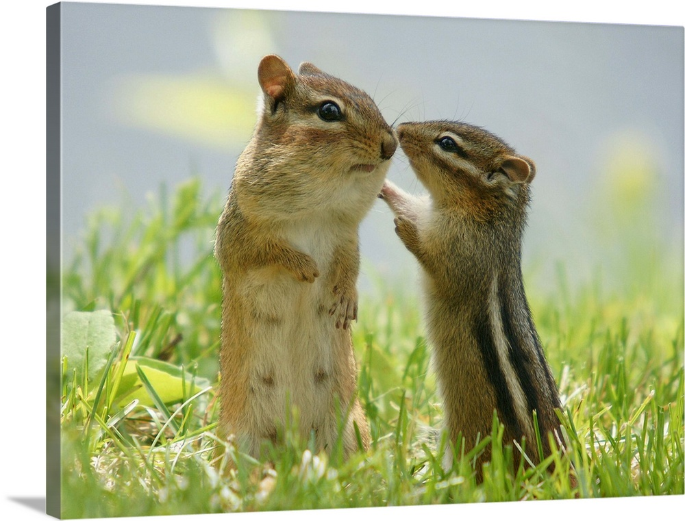 Large Gallery-Wrapped Canvas Wall Art Print 24 x 18 entitled Mother and baby chipmunks in grasses, Ontario, Canada. Gallery-Wrapped Canvas entitled Mother and baby chipmunks in grasses Ontario Canada..  Multiple sizes available.  Primary colors within this image include Light Green Black Silver Dark Forest Green.  Made in the USA.  All products come with a 365 day workmanship guarantee.  Inks used are latex-based and designed to last.  Canvases are stretched across a 1.5 inch thick wooden frame with easy-to-mount hanging hardware.  Canvas is designed to prevent fading.