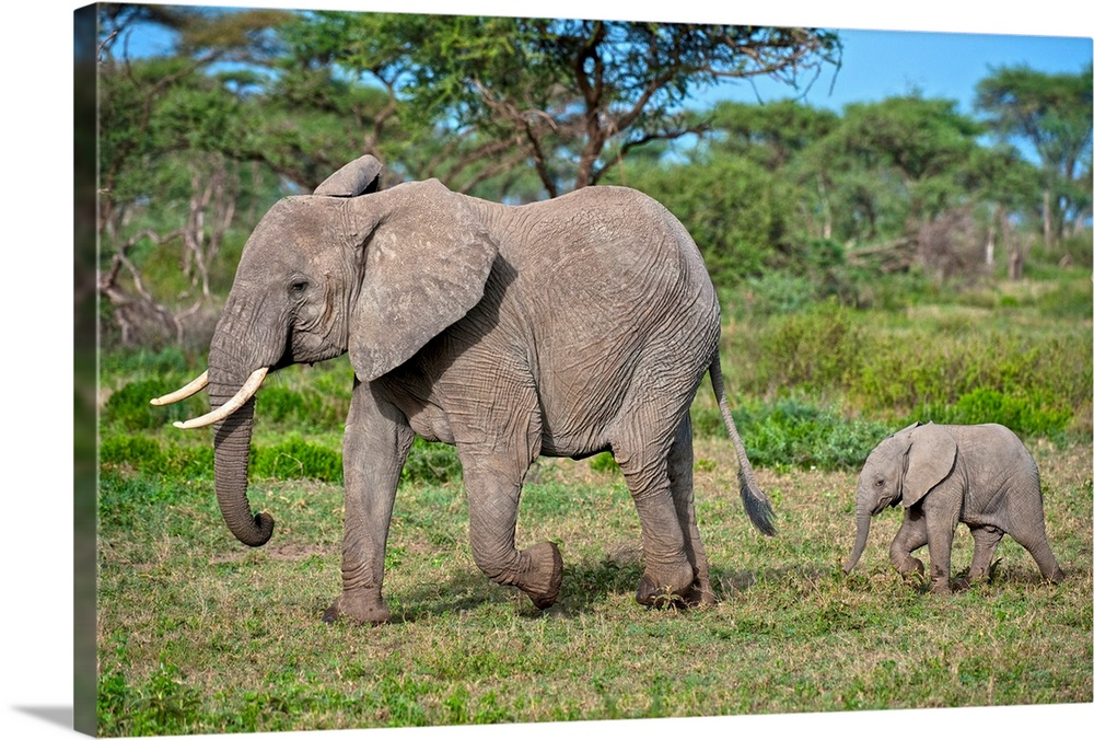 Large Gallery-Wrapped Canvas Wall Art Print 24 x 16 entitled Mother and baby elephant Gallery-Wrapped Canvas entitled Mother and baby elephant.  Serengeti National Park Arusha Tanzania Africa East Africa.  Multiple sizes available.  Primary colors within this image include Sky Blue Black Light Gray.  Made in USA.  Satisfaction guaranteed.  Archival-quality UV-resistant inks.  Museum-quality artist-grade canvas mounted on sturdy wooden stretcher bars 1.5 thick.  Comes ready to hang.  Canvas is designed to prevent fading.