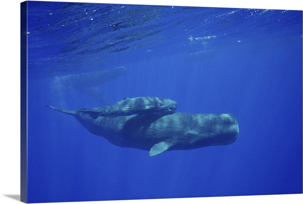 Large Gallery-Wrapped Canvas Wall Art Print 24 x 16 entitled Mother and her calf Sperm Whale  Indian Ocean Gallery-Wrapped Canvas entitled Mother and her calf Sperm Whale  Indian Ocean.  Mother and her calf Sperm Whale Physeter catodon Indian Ocean.  Multiple sizes available.  Primary colors within this image include Dark Blue Black White Muted Blue.  Made in the USA.  Satisfaction guaranteed.  Archival-quality UV-resistant inks.  Canvases are stretched across a 1.5 inch thick wooden frame with easy-to-mount hanging hardware.  Canvas is acid-free and 20 millimeters thick.