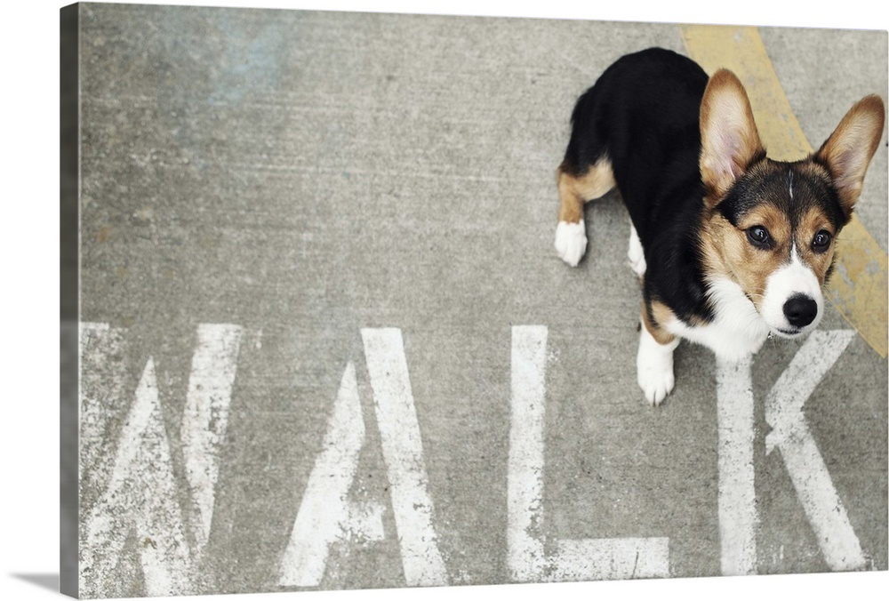 Large Gallery-Wrapped Canvas Wall Art Print 24 x 16 entitled Pembroke Welsh Corgi Dog Looking up in Front of  WALK  Gallery-Wrapped Canvas entitled Pembroke Welsh Corgi Dog Looking up in Front of WALK.  A Welsh Corgi looking up at the camera while standing next to a stenciled WALK sign on the sidewalk.  Multiple sizes available.  Primary colors within this image include Brown Black Light Gray.  Made in USA.  All products come with a 365 day workmanship guarantee.  Archival-quality UV-resistant inks.  Canvas is a 65 polyester 35 cotton base with two acrylic latex primer basecoats and a semi-gloss inkjet receptive topcoat.  Canvas is acid-free and 20 millimeters thick.