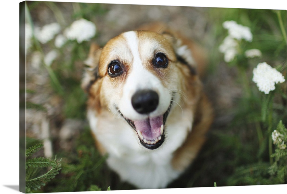 Large Gallery-Wrapped Canvas Wall Art Print 24 x 16 entitled Pembroke Welsh Corgi Dog Sitting Amongst Flowers Gallery-Wrapped Canvas entitled Pembroke Welsh Corgi Dog Sitting Amongst Flowers.  A happy looking Welsh Corgi sitting on the ground amongst white flowers and greenery smiles up at the camera.  Multiple sizes available.  Primary colors within this image include Brown Silver Dark Forest Green.  Made in the USA.  All products come with a 365 day workmanship guarantee.  Archival-quality UV-resistant inks.  Canvas frames are built with farmed or reclaimed domestic pine or poplar wood.  Canvas is designed to prevent fading.