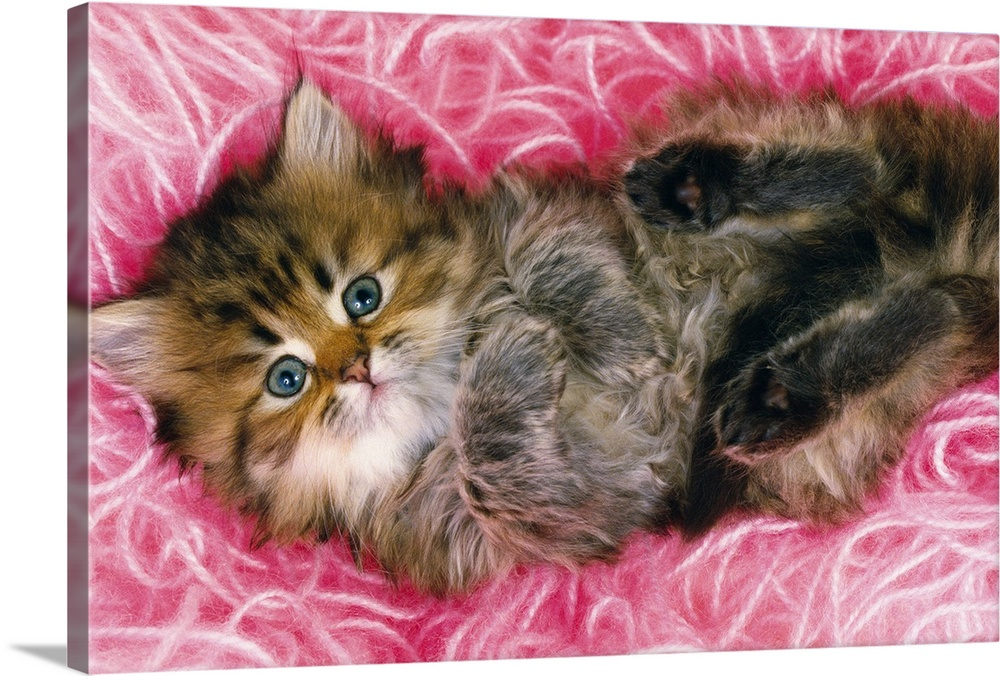 Large Gallery-Wrapped Canvas Wall Art Print 24 x 16 entitled Persian Cat Lying on Bunch of Pink-colored Wool, Looking at C... Gallery-Wrapped Canvas entitled Persian Cat Lying on Bunch of Pink-colored Wool Looking at Camera High Angle View.  Persian cat is one of the oldest breeds of cat.  Multiple sizes available.  Primary colors within this image include Dark Red Brown Light Purple Dark Forest Green.  Made in USA.  All products come with a 365 day workmanship guarantee.  Inks used are latex-based and designed to last.  Canvas is a 65 polyester 35 cotton base with two acrylic latex primer basecoats and a semi-gloss inkjet receptive topcoat.  Canvases have a UVB protection built in to protect against fading and moisture and are designed to last for over 100 years.