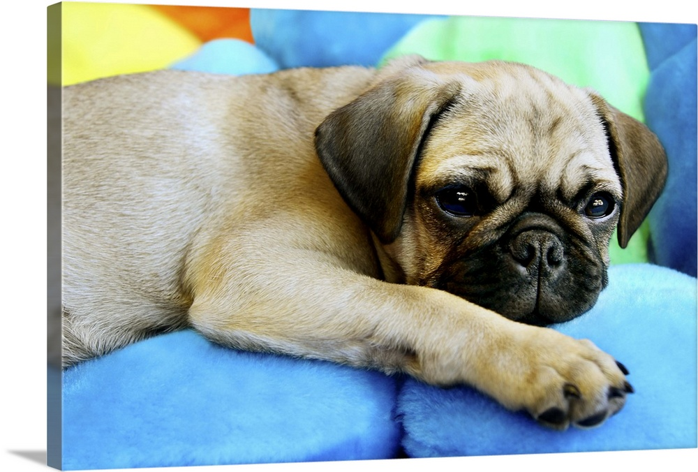 Large Gallery-Wrapped Canvas Wall Art Print 30 x 20 entitled Pug laying on pillows Gallery-Wrapped Canvas entitled Pug laying on pillows.  Multiple sizes available.  Primary colors within this image include Light Yellow, Sky Blue, White, Dark Forest Green.  Made in USA.  All products come with a 365 day workmanship guarantee.  Archival-quality UV-resistant inks.  Canvas is acid-free and 20 millimeters thick.  Canvases are stretched across a 1.5 inch thick wooden frame with easy-to-mount hanging hardware.