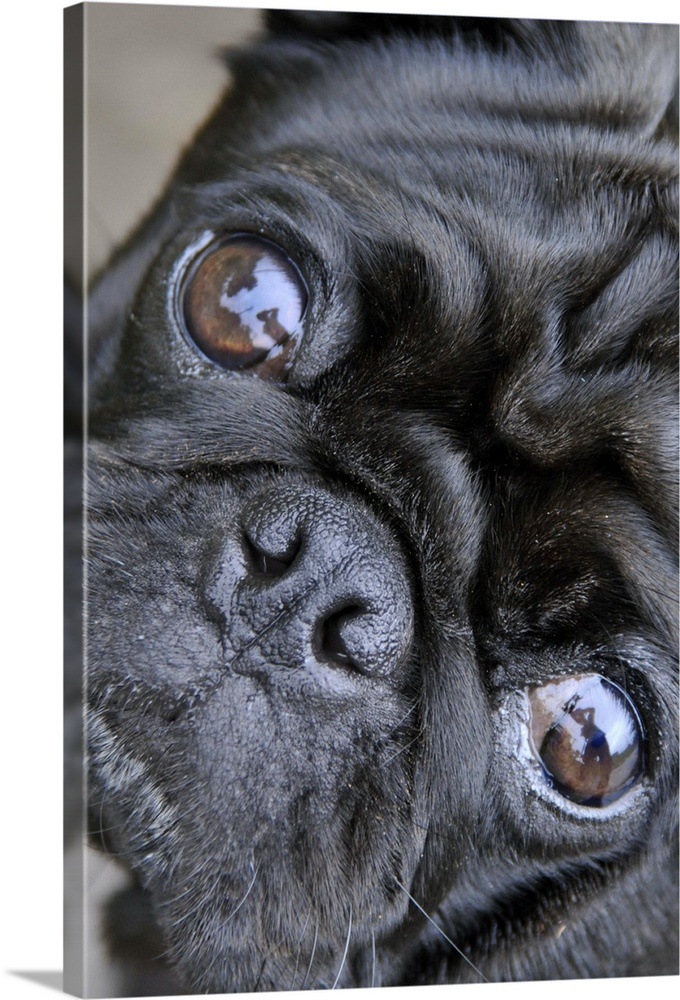 Large Gallery-Wrapped Canvas Wall Art Print 16 x 24 entitled Pug looking at camera, Chiba Prefecture, Honshu, Japan Gallery-Wrapped Canvas entitled Pug looking at camera Chiba Prefecture Honshu Japan.  Multiple sizes available.  Primary colors within this image include Gray Pale Blue.  Made in the USA.  Satisfaction guaranteed.  Archival-quality UV-resistant inks.  Museum-quality artist-grade canvas mounted on sturdy wooden stretcher bars 1.5 thick.  Comes ready to hang.  Canvases have a UVB protection built in to protect against fading and moisture and are designed to last for over 100 years.