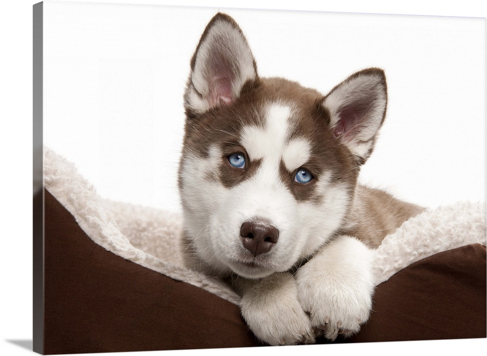 Large Gallery-Wrapped Canvas Wall Art Print 24 x 17 entitled Puppy Husky in bed Gallery-Wrapped Canvas entitled Puppy Husky in bed.  Happy Holiday Christmas cute Brown and White Siberian Husky Puppy laying in his brown and white bed and looking at the camera.  Multiple sizes available.  Primary colors within this image include Dark Gray Light Gray White.  Made in USA.  All products come with a 365 day workmanship guarantee.  Inks used are latex-based and designed to last.  Canvas frames are built with farmed or reclaimed domestic pine or poplar wood.  Canvases have a UVB protection built in to protect against fading and moisture and are designed to last for over 100 years.