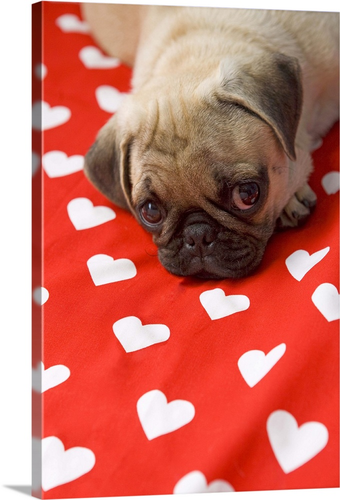 Large Solid-Faced Canvas Print Wall Art Print 20 x 30 entitled Puppy love Solid-Faced Canvas Print entitled Puppy love.  Pug puppy lying on bed, close up.  Multiple sizes available.  Primary colors within this image include Red, Dark Red, Black, White.  Made in USA.  All products come with a 365 day workmanship guarantee.  Archival-quality UV-resistant inks.  Canvas depth is 1.25 and includes a finished backing with pre-installed hanging hardware.  Featuring a proprietary design, our canvases produce the tightest corners without any bubbles, ripples, or bumps and will not warp or sag over time.