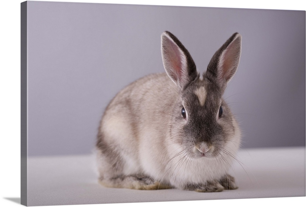 Large Solid-Faced Canvas Print Wall Art Print 30 x 20 entitled Rabbit looking at camera Solid-Faced Canvas Print entitled Rabbit looking at camera.  rabbit,simple background,animal,white table,.  Multiple sizes available.  Primary colors within this image include Dark Gray, Light Gray.  Made in USA.  Satisfaction guaranteed.  Inks used are latex-based and designed to last.  Featuring a proprietary design, our canvases produce the tightest corners without any bubbles, ripples, or bumps and will not warp or sag over time.  Canvas depth is 1.25 and includes a finished backing with pre-installed hanging hardware.