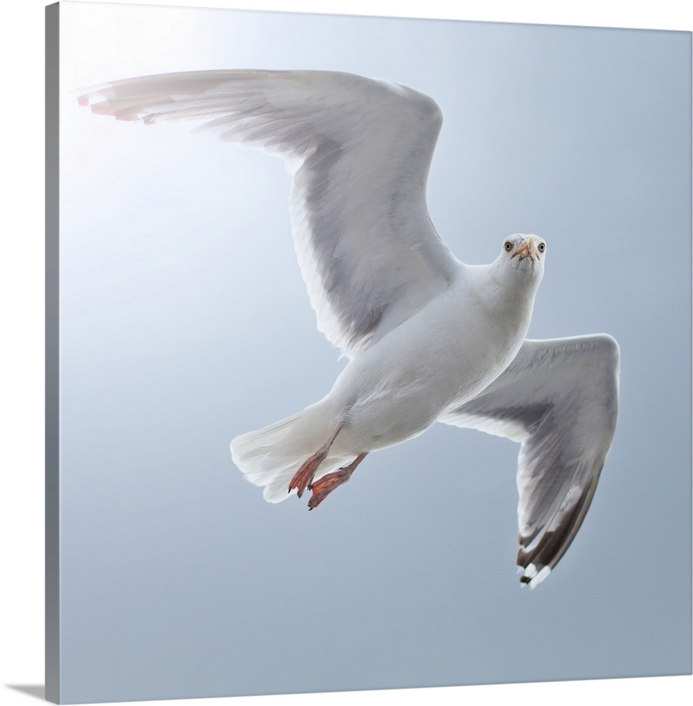 Large Gallery-Wrapped Canvas Wall Art Print 16 x 16 entitled Seagull looks straight into camera from sky. Gallery-Wrapped Canvas entitled Seagull looks straight into camera from sky..  Multiple sizes available.  Primary colors within this image include Black Gray White.  Made in the USA.  Satisfaction guaranteed.  Inks used are latex-based and designed to last.  Canvases are stretched across a 1.5 inch thick wooden frame with easy-to-mount hanging hardware.  Museum-quality artist-grade canvas mounted on sturdy wooden stretcher bars 1.5 thick.  Comes ready to hang.