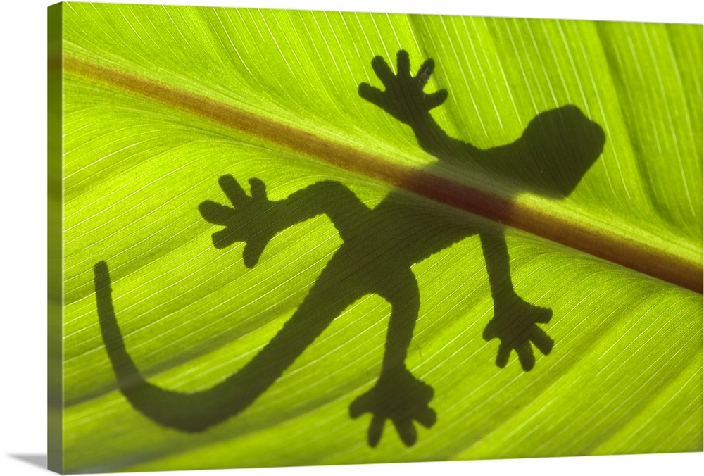 Large Solid-Faced Canvas Print Wall Art Print 30 x 20 entitled Shadow of a gecko on a leaf Solid-Faced Canvas Print entitled Shadow of a gecko on a leaf.  Multiple sizes available.  Primary colors within this image include Brown, Dark Yellow, Lime Green.  Made in the USA.  Satisfaction guaranteed.  Inks used are latex-based and designed to last.  Featuring a proprietary design, our canvases produce the tightest corners without any bubbles, ripples, or bumps and will not warp or sag over time.  Canvas depth is 1.25 and includes a finished backing with pre-installed hanging hardware.