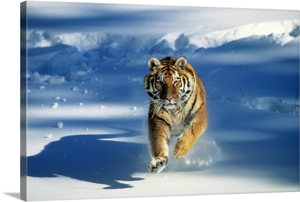 Large Gallery-Wrapped Canvas Wall Art Print 24 x 16 entitled Siberian tiger (Panthera tigris altaica) charging through snow Gallery-Wrapped Canvas entitled Siberian tiger Panthera tigris altaica charging through snow.  Giant landscape photograph of a Siberian tiger Panthera tigris altaica running toward the camera on a background of shadowed snow.  Multiple sizes available.  Primary colors within this image include Peach Silver Muted Blue Dark Forest Green.  Made in USA.  All products come with a 365 day workmanship guarantee.  Inks used are latex-based and designed to last.  Canvas is a 65 polyester 35 cotton base with two acrylic latex primer basecoats and a semi-gloss inkjet receptive topcoat.  Canvas is designed to prevent fading.