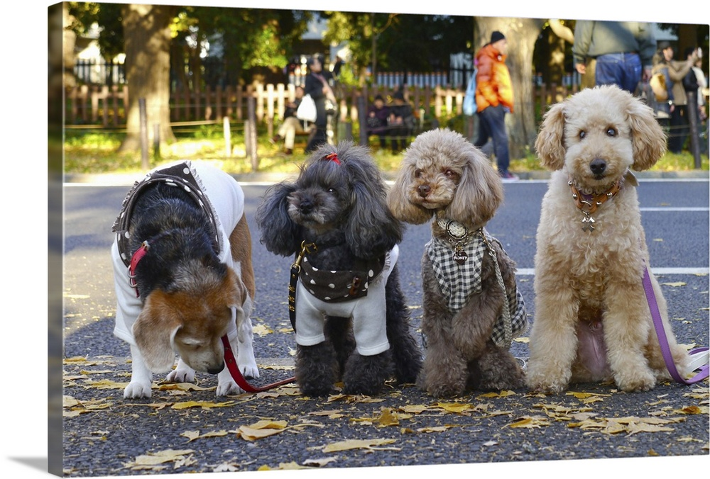 Large Solid-Faced Canvas Print Wall Art Print 30 x 20 entitled Small dogs at a park Solid-Faced Canvas Print entitled Small dogs at a park.  Beagle, toy poodle, fall, ginkgo four dogs.  Multiple sizes available.  Primary colors within this image include Light Yellow, Dark Gray, Gray, White.  Made in USA.  All products come with a 365 day workmanship guarantee.  Archival-quality UV-resistant inks.  Archival inks prevent fading and preserve as much fine detail as possible with no over-saturation or color shifting.  Canvas depth is 1.25 and includes a finished backing with pre-installed hanging hardware.