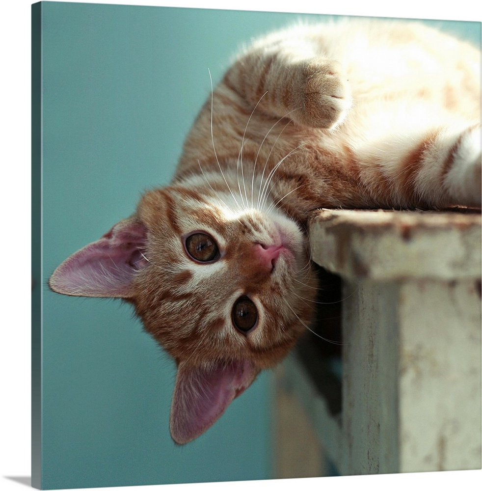 Large Gallery-Wrapped Canvas Wall Art Print 20 x 18 entitled Small ginger cat lying sideways on wooden table with his head... Gallery-Wrapped Canvas entitled Small ginger cat lying sideways on wooden table with his head leaning over the edge.  Small ginger cat lying sideways on wooden table with his head leaning over the edge looking directly at camera.  Multiple sizes available.  Primary colors within this image include Black Gray White.  Made in the USA.  Satisfaction guaranteed.  Inks used are latex-based and designed to last.  Canvas is acid-free and 20 millimeters thick.  Canvases are stretched across a 1.5 inch thick wooden frame with easy-to-mount hanging hardware.