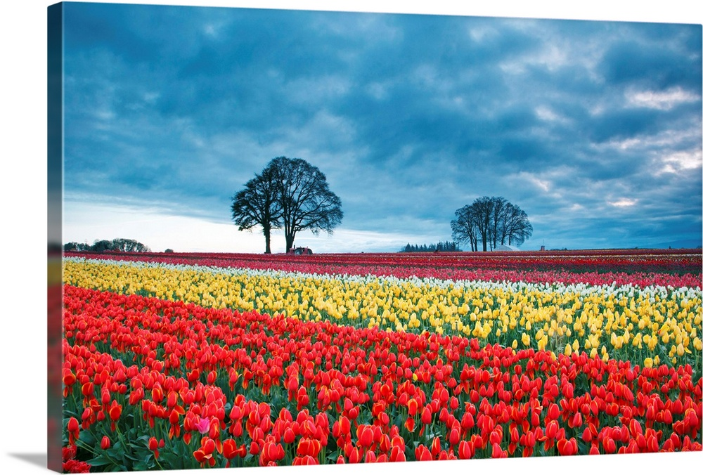 Large Solid-Faced Canvas Print Wall Art Print 30 x 20 entitled Sunrise Over Tulip Field, Wooden Shoe Tulip Farm, Woodburn,... Solid-Faced Canvas Print entitled Sunrise Over Tulip Field, Wooden Shoe Tulip Farm, Woodburn, Oregon.  Sunrise over tulip field, Wooden Shoe Tulip Farm, Woodburn Oregon.  Multiple sizes available.  Primary colors within this image include Red, Light Yellow, Dark Forest Green, Gray Blue.  Made in USA.  All products come with a 365 day workmanship guarantee.  Inks used are latex-based and designed to last.  Archival inks prevent fading and preserve as much fine detail as possible with no over-saturation or color shifting.  Canvas depth is 1.25 and includes a finished backing with pre-installed hanging hardware.