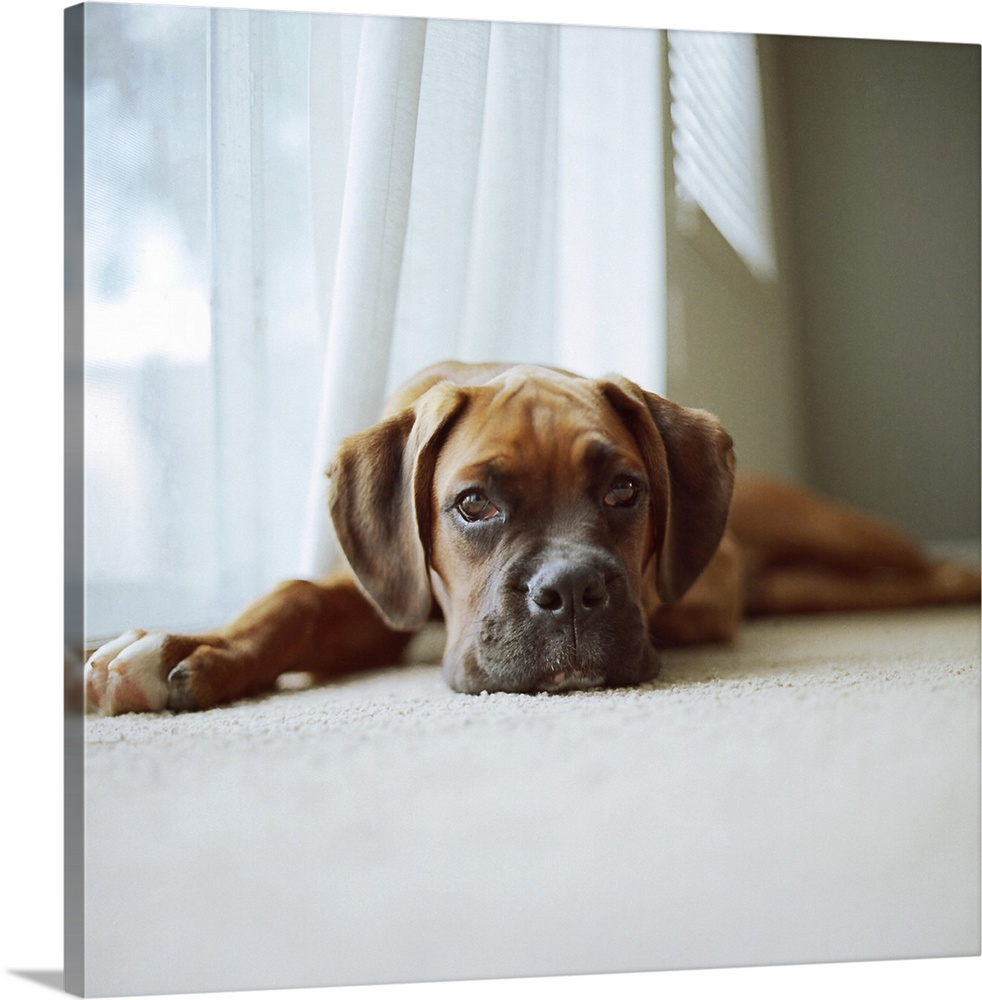 Large Gallery-Wrapped Canvas Wall Art Print 16 x 16 entitled Tan boxer puppy laying on carpet near window with white curta... Gallery-Wrapped Canvas entitled Tan boxer puppy laying on carpet near window with white curtains and gray walls..  Tan boxer puppy laying on carpet near window looking at camera with white curtains and gray walls.  Multiple sizes available.  Primary colors within this image include Black Gray Silver.  Made in USA.  All products come with a 365 day workmanship guarantee.  Inks used are latex-based and designed to last.  Canvases have a UVB protection built in to protect against fading and moisture and are designed to last for over 100 years.  Canvas is a 65 polyester 35 cotton base with two acrylic latex primer basecoats and a semi-gloss inkjet receptive topcoat.