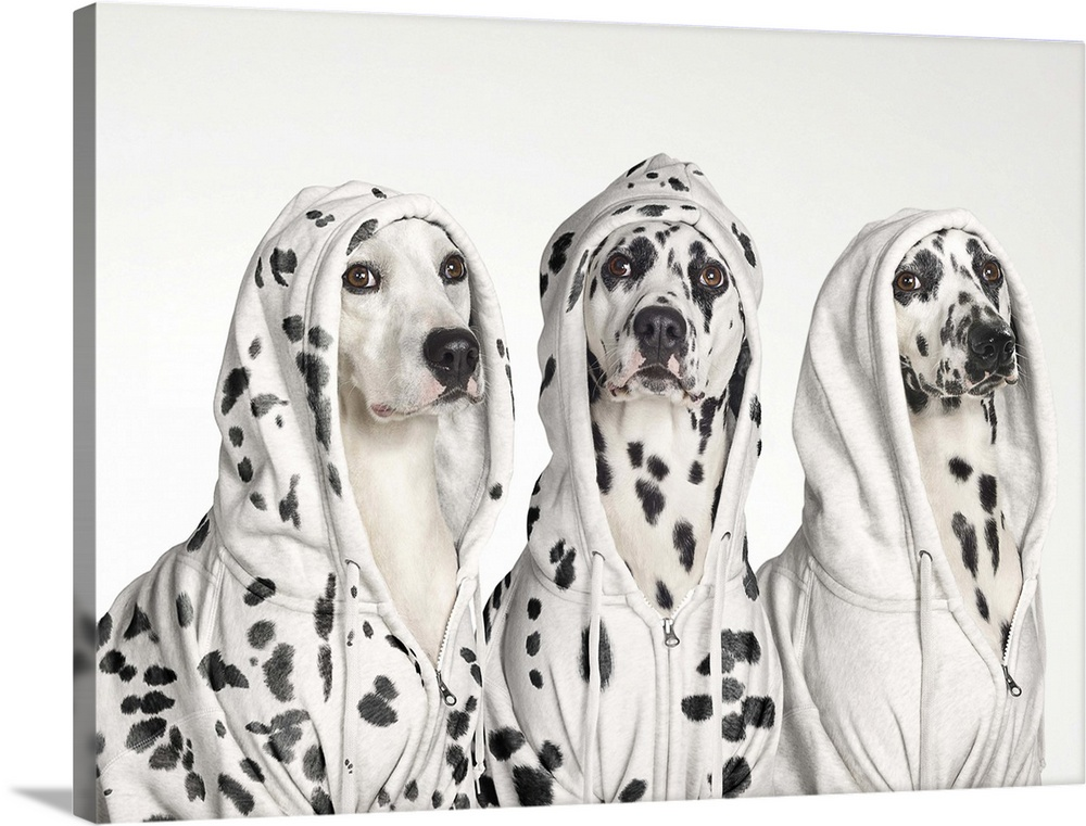Large Solid-Faced Canvas Print Wall Art Print 40 x 30 entitled Three Dalmatians wearing white spotted hoodies Solid-Faced Canvas Print entitled Three Dalmatians wearing white spotted hoodies.  Three dalmatian dogs wearing hoodies with spots juxtaposed on fur and clothes.  Multiple sizes available.  Primary colors within this image include Dark Gray, White.  Made in the USA.  Satisfaction guaranteed.  Archival-quality UV-resistant inks.  Featuring a proprietary design, our canvases produce the tightest corners without any bubbles, ripples, or bumps and will not warp or sag over time.  Canvas is handcrafted and made-to-order in the United States using high quality artist-grade canvas.
