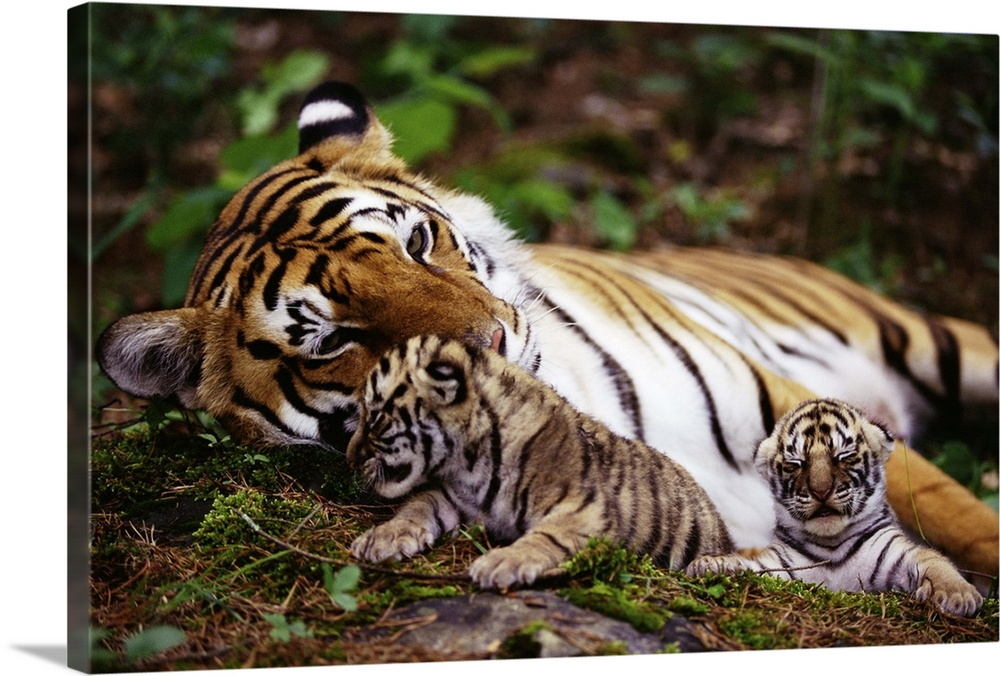 Large Gallery-Wrapped Canvas Wall Art Print 24 x 16 entitled Tiger mother with cubs Gallery-Wrapped Canvas entitled Tiger mother with cubs.  Multiple sizes available.  Primary colors within this image include Forest Green Black Light Gray White.  Made in the USA.  Satisfaction guaranteed.  Archival-quality UV-resistant inks.  Canvas is acid-free and 20 millimeters thick.  Canvases have a UVB protection built in to protect against fading and moisture and are designed to last for over 100 years.