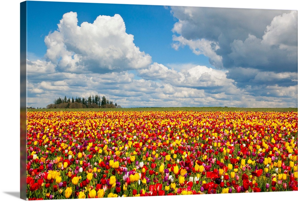 Large Solid-Faced Canvas Print Wall Art Print 30 x 20 entitled Tulip Fields, Wooden Shoe Tulip Farm, Woodburn Oregon Solid-Faced Canvas Print entitled Tulip Fields, Wooden Shoe Tulip Farm, Woodburn Oregon.  tulips fields, Wooden Shoe Tulip Farm, Woodburn Oregon, United States.  Multiple sizes available.  Primary colors within this image include Yellow, Dark Red, Dark Forest Green, Royal Blue.  Made in the USA.  Satisfaction guaranteed.  Inks used are latex-based and designed to last.  Featuring a proprietary design, our canvases produce the tightest corners without any bubbles, ripples, or bumps and will not warp or sag over time.  Canvas depth is 1.25 and includes a finished backing with pre-installed hanging hardware.