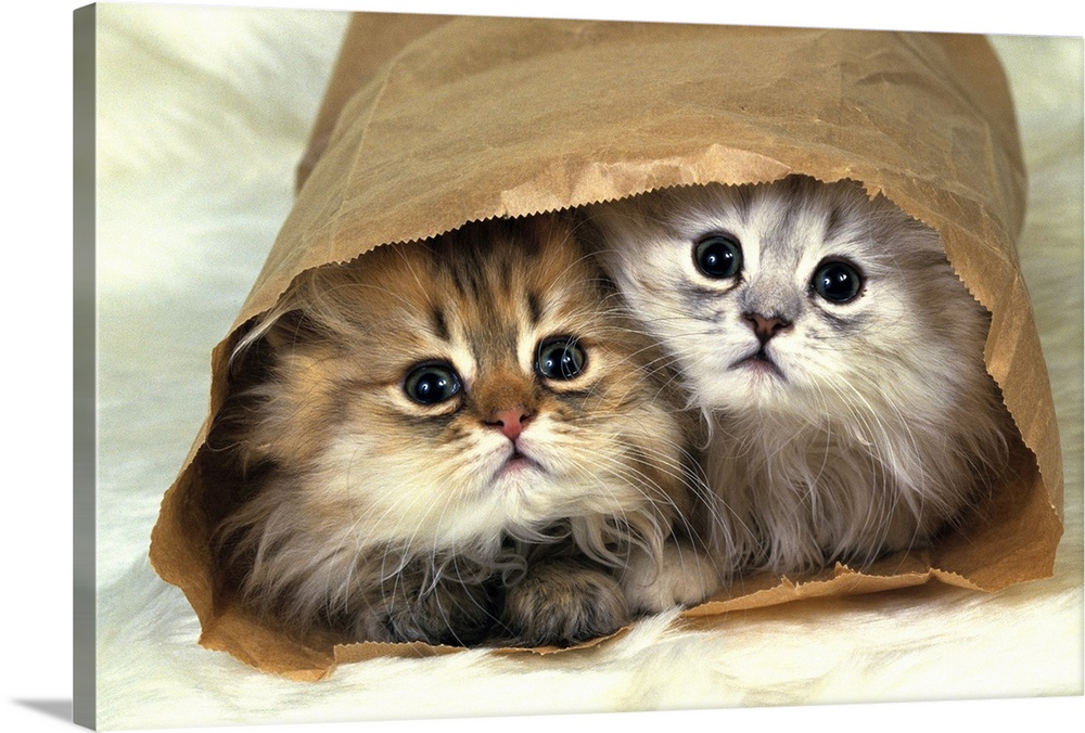 Large Gallery-Wrapped Canvas Wall Art Print 24 x 16 entitled Two Persian Cats In a Little Paper bag, Looking at Camera, Hi... Gallery-Wrapped Canvas entitled Two Persian Cats In a Little Paper bag Looking at Camera High Angle View.  Persian cat is one of the oldest breeds of cat.  Multiple sizes available.  Primary colors within this image include Light Gray Dark Forest Green.  Made in the USA.  All products come with a 365 day workmanship guarantee.  Archival-quality UV-resistant inks.  Canvases have a UVB protection built in to protect against fading and moisture and are designed to last for over 100 years.  Museum-quality artist-grade canvas mounted on sturdy wooden stretcher bars 1.5 thick.  Comes ready to hang.