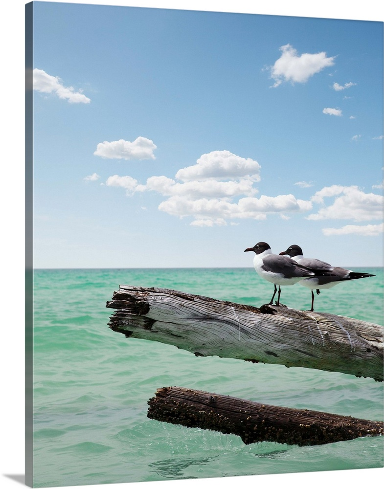 Large Solid-Faced Canvas Print Wall Art Print 36 x 45 entitled Two seagulls sitting on a dead tree sticking out of the wat... Solid-Faced Canvas Print entitled Two seagulls sitting on a dead tree sticking out of the water at Sarasota, Florida.  Two seagulls sitting on a dead tree sticking out of the water on location at Sarasota Florida  for Vacation, Freedom, Carefree, Summer Time, Adventure, Companionship,  Togetherness, Escape.  Multiple sizes available.  Primary colors within this image include Black, Silver, Dark Forest Green.  Made in the USA.  Satisfaction guaranteed.  Inks used are latex-based and designed to last.  Canvas depth is 1.25 and includes a finished backing with pre-installed hanging hardware.  Featuring a proprietary design, our canvases produce the tightest corners without any bubbles, ripples, or bumps and will not warp or sag over time.