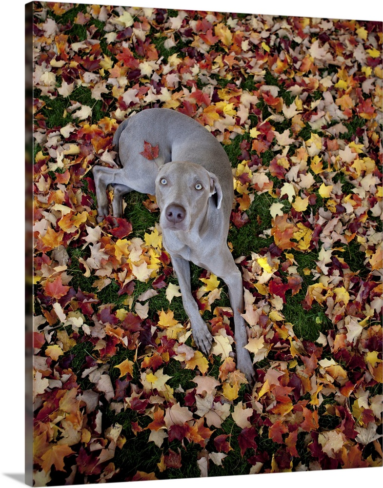 Large Gallery-Wrapped Canvas Wall Art Print 16 x 20 entitled Weimaraner resting on a ground covered with leaves Gallery-Wrapped Canvas entitled Weimaraner resting on a ground covered with leaves.  Weimaraner resting on a bed of leaves centerfold style with one leaf stuck to his back as he looks up at the camera.  Multiple sizes available.  Primary colors within this image include Orange Peach Black Dark Forest Green.  Made in USA.  All products come with a 365 day workmanship guarantee.  Archival-quality UV-resistant inks.  Canvas is a 65 polyester 35 cotton base with two acrylic latex primer basecoats and a semi-gloss inkjet receptive topcoat.  Museum-quality artist-grade canvas mounted on sturdy wooden stretcher bars 1.5 thick.  Comes ready to hang.