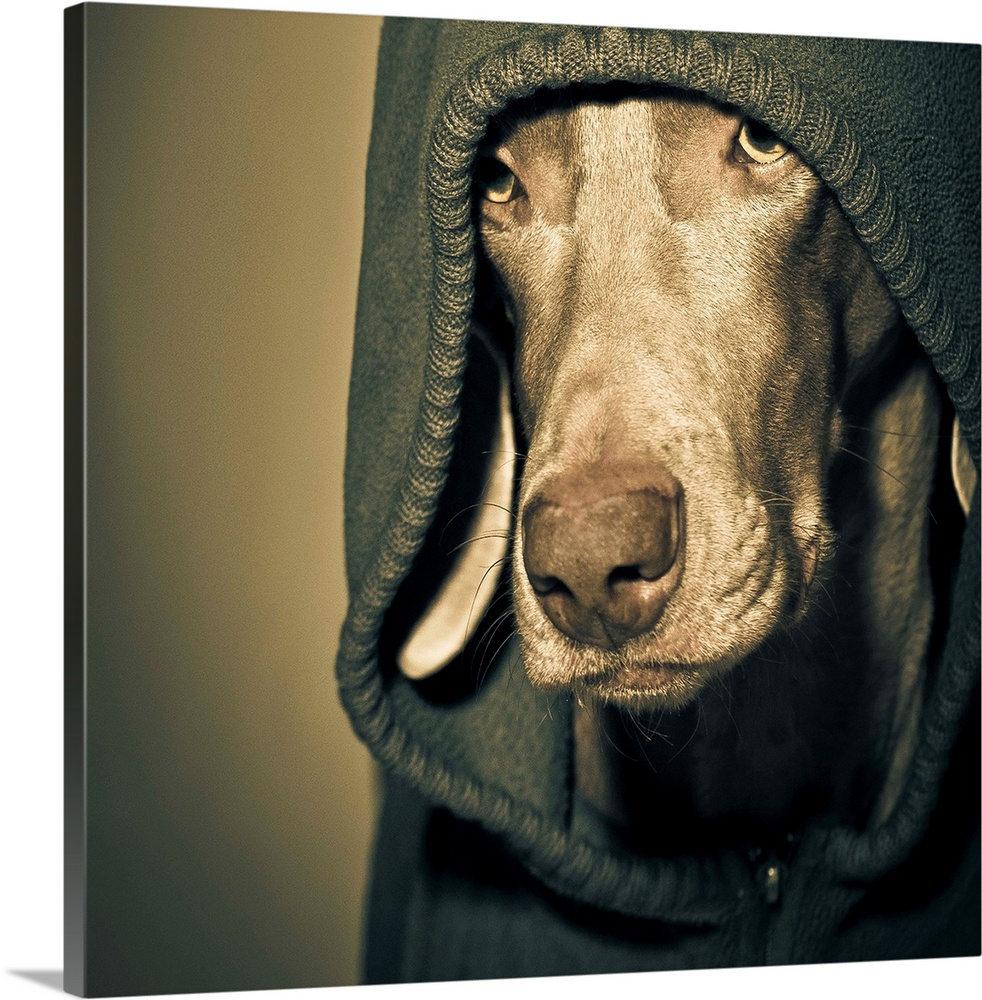 Large Solid-Faced Canvas Print Wall Art Print 20 x 20 entitled Weimaraner wearing a hoodie Solid-Faced Canvas Print entitled Weimaraner wearing a hoodie.  Weimaraner wearing blue felted hoodie.  Multiple sizes available.  Primary colors within this image include Peach, Black, Dark Forest Green.  Made in USA.  All products come with a 365 day workmanship guarantee.  Archival-quality UV-resistant inks.  Canvas depth is 1.25 and includes a finished backing with pre-installed hanging hardware.  Canvas is handcrafted and made-to-order in the United States using high quality artist-grade canvas.