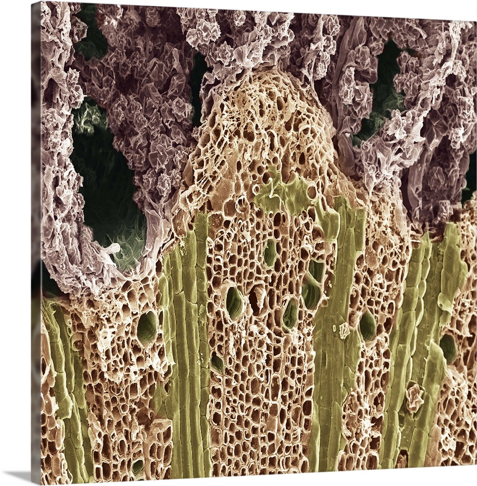 Large Solid-Faced Canvas Print Wall Art Print 20 x 20 entitled Wood. Scanning electron microscope (SEM) Solid-Faced Canvas Print entitled Wood. Scanning electron microscope SEM.  Multiple sizes available.  Primary colors within this image include Brown, Dark Yellow, White.  Made in the USA.  Satisfaction guaranteed.  Inks used are latex-based and designed to last.  Canvas is handcrafted and made-to-order in the United States using high quality artist-grade canvas.  Featuring a proprietary design, our canvases produce the tightest corners without any bubbles, ripples, or bumps and will not warp or sag over time.