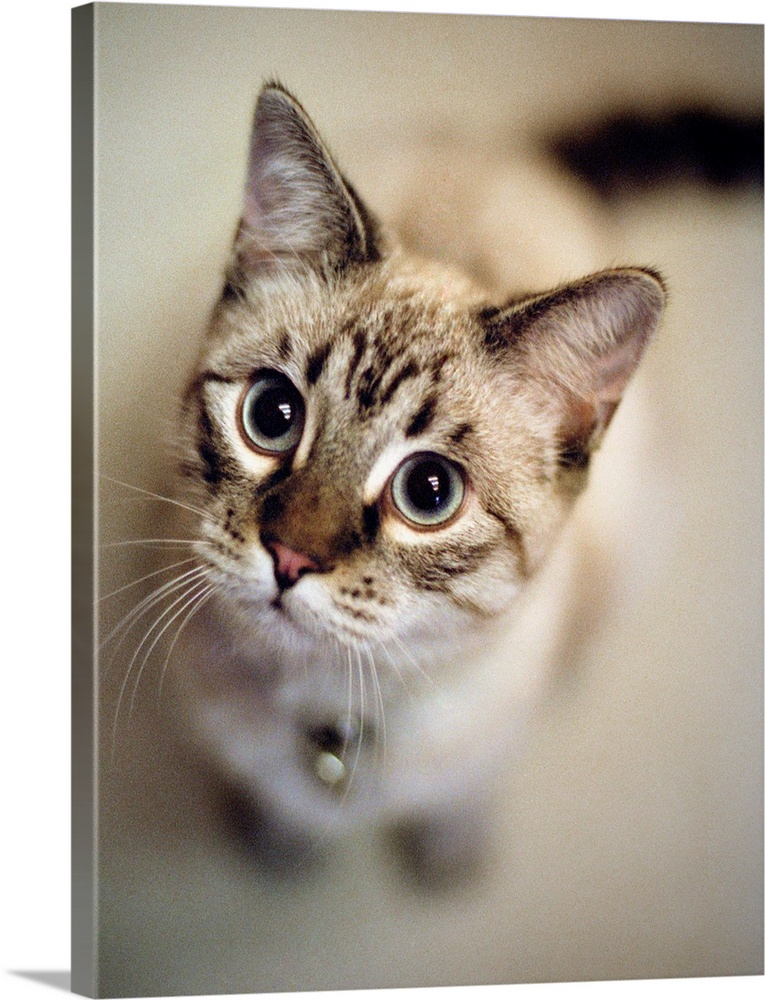 Large Gallery-Wrapped Canvas Wall Art Print 18 x 24 entitled Young cat wearing bell looks up at camera in Tualatin, Oregon. Gallery-Wrapped Canvas entitled Young cat wearing bell looks up at camera in Tualatin Oregon..  Multiple sizes available.  Primary colors within this image include Black Silver.  Made in USA.  All products come with a 365 day workmanship guarantee.  Archival-quality UV-resistant inks.  Canvas is a 65 polyester 35 cotton base with two acrylic latex primer basecoats and a semi-gloss inkjet receptive topcoat.  Canvases have a UVB protection built in to protect against fading and moisture and are designed to last for over 100 years.
