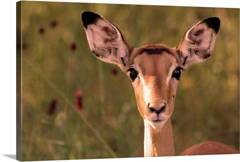 Large Solid-Faced Canvas Print Wall Art Print 30 x 20 entitled Impala portrait, Ruaha National Park, Tanzania Solid-Faced Canvas Print entitled Impala portrait, Ruaha National Park, Tanzania.  Impala portrait, Ruaha National Park, Tanzania - an alert ewe stares directly at the camera.  Multiple sizes available.  Primary colors within this image include Black, White, Dark Forest Green.  Made in USA.  All products come with a 365 day workmanship guarantee.  Inks used are latex-based and designed to last.  Archival inks prevent fading and preserve as much fine detail as possible with no over-saturation or color shifting.  Canvas is handcrafted and made-to-order in the United States using high quality artist-grade canvas.