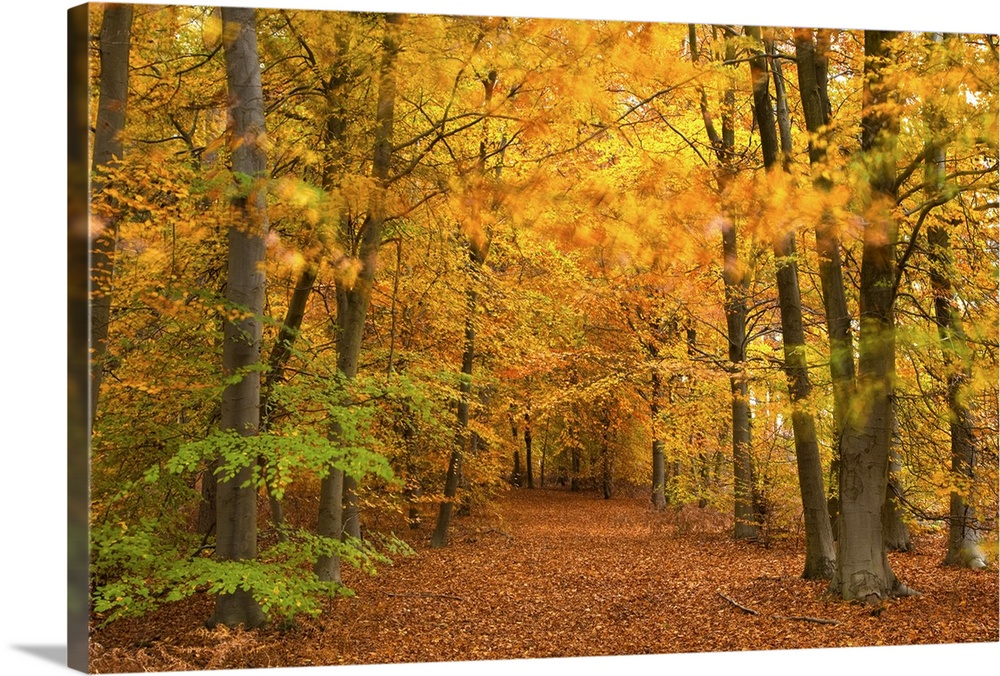Large Solid-Faced Canvas Print Wall Art Print 30 x 20 entitled Woods in autumn time, Surrey, England, UK Solid-Faced Canvas Print entitled Woods in autumn time, Surrey, England, UK.  Multiple sizes available.  Primary colors within this image include Orange, Brown, Dark Yellow, Peach.  Made in USA.  All products come with a 365 day workmanship guarantee.  Archival-quality UV-resistant inks.  Featuring a proprietary design, our canvases produce the tightest corners without any bubbles, ripples, or bumps and will not warp or sag over time.  Canvas depth is 1.25 and includes a finished backing with pre-installed hanging hardware.
