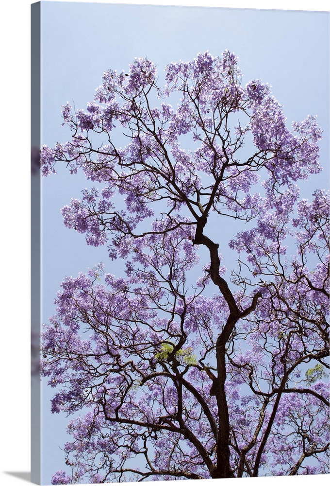 Large Solid-Faced Canvas Print Wall Art Print 20 x 30 entitled Spring in Buenos Aires Solid-Faced Canvas Print entitled Spring in Buenos Aires.  Argentina, Buenos Aires Jacarandas trees are in bloom in the city parks branches, shadows, violet flowers.  Multiple sizes available.  Primary colors within this image include Black, Gray, White.  Made in USA.  All products come with a 365 day workmanship guarantee.  Archival-quality UV-resistant inks.  Canvas depth is 1.25 and includes a finished backing with pre-installed hanging hardware.  Canvas is handcrafted and made-to-order in the United States using high quality artist-grade canvas.