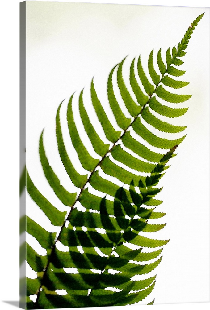 Large Solid-Faced Canvas Print Wall Art Print 20 x 30 entitled Fern Shadow Solid-Faced Canvas Print entitled Fern Shadow.  Two fern fronds intersect to create an abstract pattern with their leaves on a plain white background.  Multiple sizes available.  Primary colors within this image include Dark Yellow, Black, White.  Made in the USA.  All products come with a 365 day workmanship guarantee.  Archival-quality UV-resistant inks.  Canvas depth is 1.25 and includes a finished backing with pre-installed hanging hardware.  Canvas is handcrafted and made-to-order in the United States using high quality artist-grade canvas.