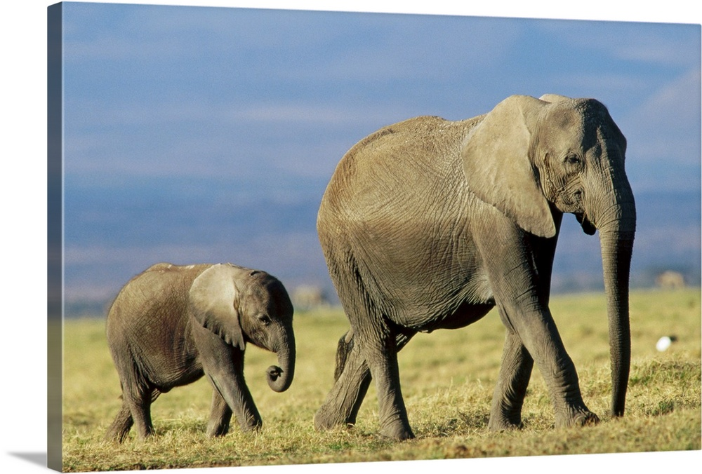 Large Gallery-Wrapped Canvas Wall Art Print 24 x 16 entitled African Elephant (Loxodonta africana) mother leading calf, Kenya Gallery-Wrapped Canvas entitled African Elephant Loxodonta africana mother leading calf Kenya.  Multiple sizes available.  Primary colors within this image include Peach Dark Gray Gray Blue.  Made in USA.  All products come with a 365 day workmanship guarantee.  Archival-quality UV-resistant inks.  Canvases are stretched across a 1.5 inch thick wooden frame with easy-to-mount hanging hardware.  Canvas is a 65 polyester 35 cotton base with two acrylic latex primer basecoats and a semi-gloss inkjet receptive topcoat.