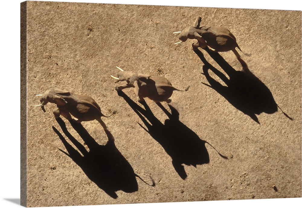 Large Solid-Faced Canvas Print Wall Art Print 30 x 20 entitled African Elephant (Loxodonta africana) trio aerial with shad... Solid-Faced Canvas Print entitled African Elephant Loxodonta africana trio aerial with shadows, Africa.  Africa.  Multiple sizes available.  Primary colors within this image include Peach, Black.  Made in the USA.  All products come with a 365 day workmanship guarantee.  Inks used are latex-based and designed to last.  Archival inks prevent fading and preserve as much fine detail as possible with no over-saturation or color shifting.  Canvas is handcrafted and made-to-order in the United States using high quality artist-grade canvas.