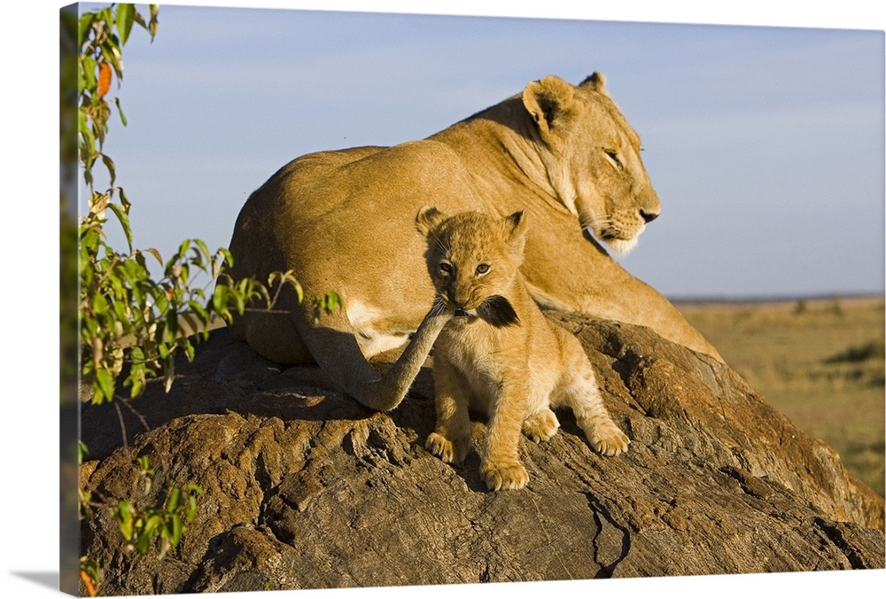 Large Gallery-Wrapped Canvas Wall Art Print 24 x 16 entitled African Lion cub playing with its mother's tail, vulnerable, ... Gallery-Wrapped Canvas entitled African Lion cub playing with its mothers tail vulnerable Masai Mara National Reserve.  A lioness snoozes on a rock in the sun while her offspring gnaws on her tail and stares at the camera adorable baby animal wall art would look wonderful in a nursery or childos room.  Multiple sizes available.  Primary colors within this image include Dark Yellow Gray Dark Forest Green Pale Blue.  Made in USA.  All products come with a 365 day workmanship guarantee.  Archival-quality UV-resistant inks.  Canvas is designed to prevent fading.  Canvases have a UVB protection built in to protect against fading and moisture and are designed to last for over 100 years.