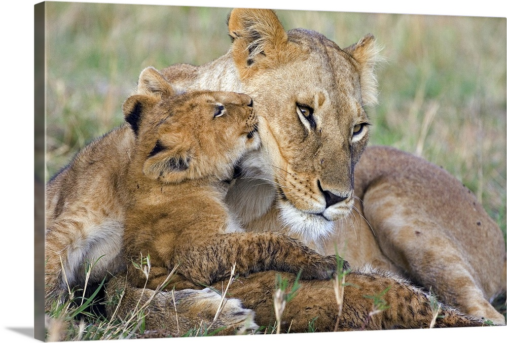 Large Gallery-Wrapped Canvas Wall Art Print 24 x 16 entitled African Lion mother and young cubs Gallery-Wrapped Canvas entitled African Lion mother and young cubs.  Photograph of wildcat with its young that is approximately 8 weeks old  in the Masai Mara National Reserve of Kenya. .  Multiple sizes available.  Primary colors within this image include Black Light Gray.  Made in USA.  All products come with a 365 day workmanship guarantee.  Archival-quality UV-resistant inks.  Canvas frames are built with farmed or reclaimed domestic pine or poplar wood.  Canvases have a UVB protection built in to protect against fading and moisture and are designed to last for over 100 years.