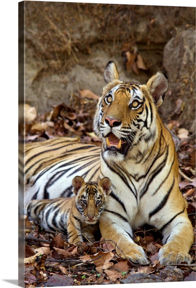 Large Gallery-Wrapped Canvas Wall Art Print 16 x 24 entitled Bengal Tiger mother and eight week old cub at den, India Gallery-Wrapped Canvas entitled Bengal Tiger mother and eight week old cub at den India.  Bengal Tiger.Panthera tigris .Mother and eight week old cub at den .Bandhavgarh National Park India........  Multiple sizes available.  Primary colors within this image include Peach Dark Forest Green.  Made in the USA.  Satisfaction guaranteed.  Inks used are latex-based and designed to last.  Museum-quality artist-grade canvas mounted on sturdy wooden stretcher bars 1.5 thick.  Comes ready to hang.  Canvas is acid-free and 20 millimeters thick.